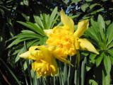 Daffodil -26