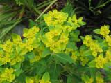 Euphorbia 06-21