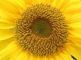Sunflower Heart-5.jpg