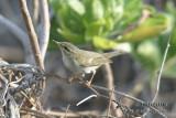 Arctic Warbler 8655.jpg