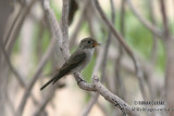 Asian Brown Flycatcher 1313.jpg
