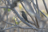Asian Brown Flycatcher 9023.jpg