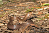 Golden-crowned Snake - Cacophis squamulosus 4786