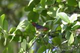 Papuan Flowerpecker 1367.jpg