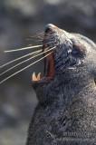 Antarctic Fur-Seal