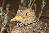 Plains Wanderer