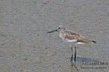 Common Greenshank a0803.jpg