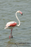 Greater Flamingo  (Australian vagrant)