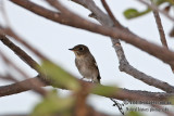 Asian Brown Flycatcher 3586.jpg