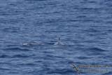 Omura's Whale 6271.jpg