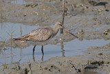 Bar-tailed Godwit a5705.jpg