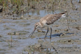 Bar-tailed Godwit a5709.jpg