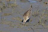 Bar-tailed Godwit a7532.jpg