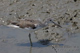 Common Greenshank a5249.jpg
