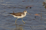 Common Greenshank a7571.jpg