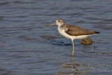 Common Greenshank a7594.jpg