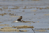 Grey-tailed Tattler a4890.jpg