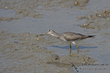 Grey-tailed Tattler a5370.jpg