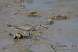 Grey-tailed Tattler a5375.jpg