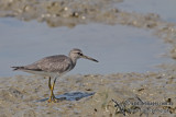 Grey-tailed Tattler a5749.jpg