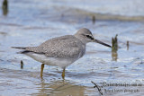 Grey-tailed Tattler a6359.jpg