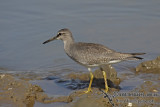 Grey-tailed Tattler a6561.jpg