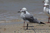 Laughing Gull a5641.jpg