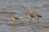 Black-tailed Godwit a7801.jpg