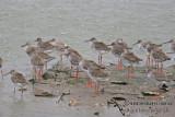 Common Redshank a3256.jpg