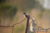 Rose-coloured Starling a0057.jpg