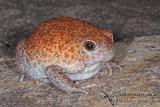 Burrowing Toads - Notaden spp.