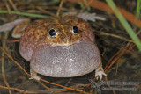 Burrowing Frogs - Cyclorana spp.