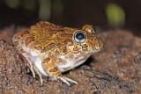 Burrowing Frogs - Platyplectrum spp.