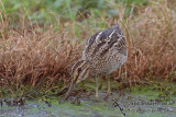 Pin-tailed Snipe a1462.jpg