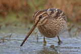 Curlews, Godwit, Shanks and Sandpipers