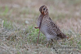 Pin-tailed Snipe a2130.jpg