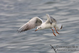 Black-headed Gull 0032.jpg