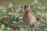 Pin-tailed Snipe a1639.jpg