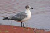 Franklins Gull a3377.jpg