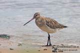 Bar-tailed Godwit a3100.jpg