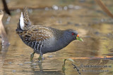 Crakes, Rails and Waterhens