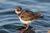 Semipalmated Plover 0444.jpg