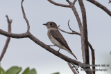 Asian Brown Flycatcher 5404.jpg