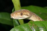 Amethistine Python - Morelia amethistina 9276