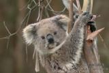 Koala 9577