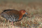 Red-legged Crake 5083.jpg