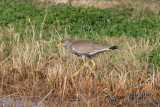 Grey headed Lapwing 7441.jpg