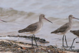 Black-tailed Godwit 2464.jpg