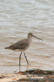 Black-tailed Godwit 2466.jpg