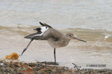 Black-tailed Godwit 2474.jpg